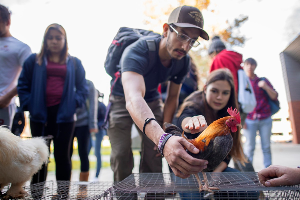 Two students reach out and pet a rooster standing on top of a cage.