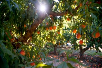 Chico State's College of Agriculture is hosting its annual U-Pick Peaches Event THIS WEEK. Visitors are encouraged to pick their own peaches for purchase at the University Farm.