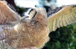 A great horned owl flaps its wings.