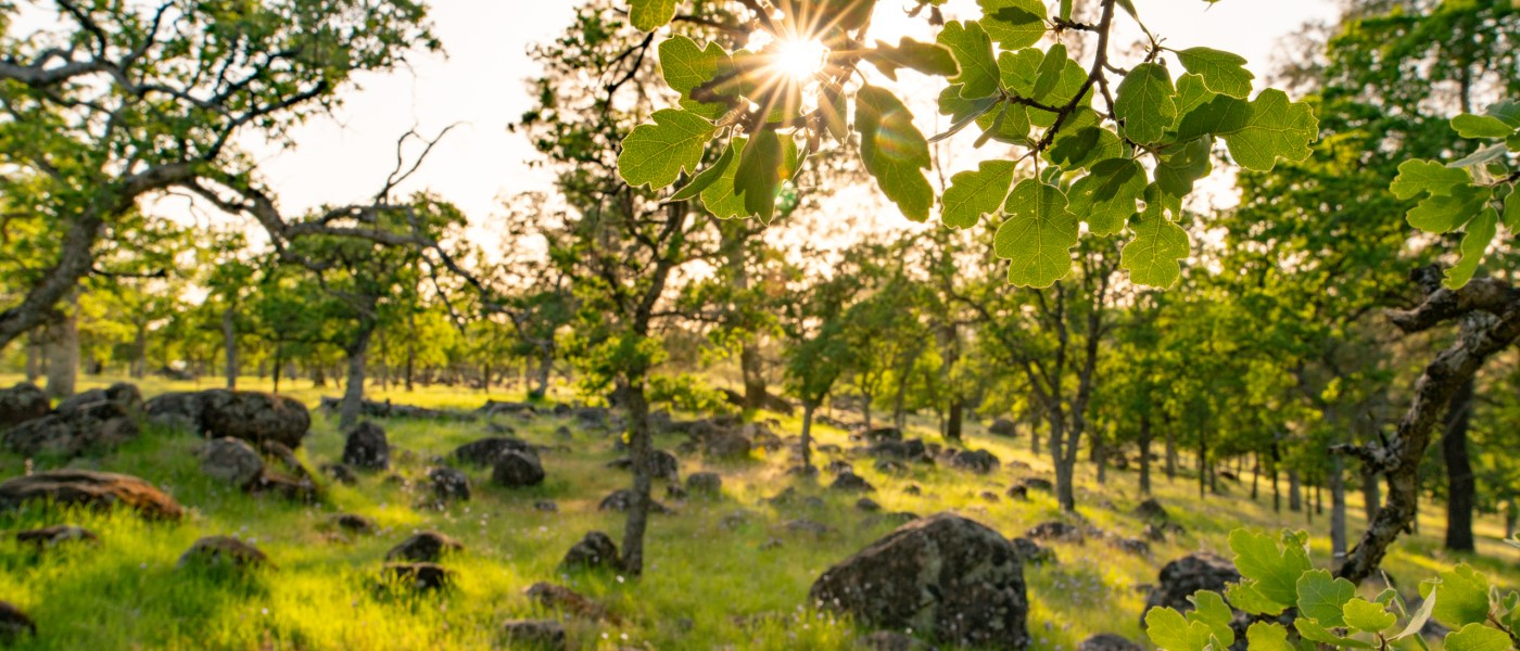 Sunlight breaks through branches and leaves of trees that are surrounded by grass and volcanic rocks