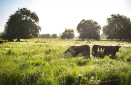 A pair of cows chew grass in a field