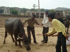 JJVS fieldworkers working with buffalo