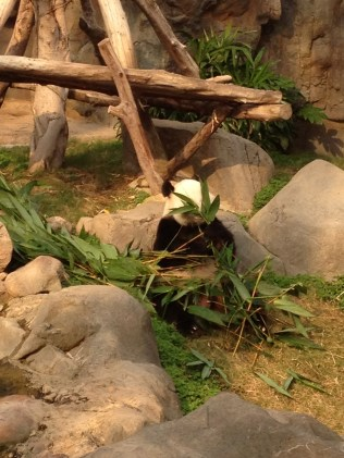 One panda was eating without a care ...