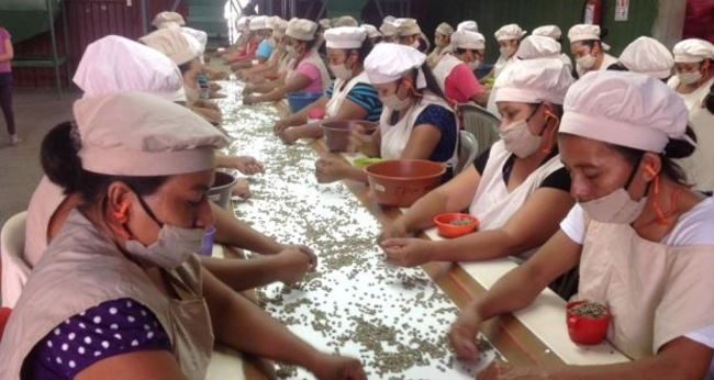 Women work the conveyor belt at a Nicaragua coffee processing co-operative, picking out unsuitable beans so the coffee can command a higher price. | Photo: Brenda Fitzsimons