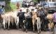 Nicaragua Cattle Smuggled to Honduras
