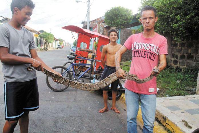 Francisco Antonio García, triciclero de la ciudad de León, evitó que mataran a la boa que ayer sorprendió a los usuarios de una ruta urbana en León. LAPRENSA/EDDY LÓPEZ