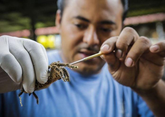 An employee handles a tarantula, known as Costa Rican Tiger Rump (Cyclosternum fasciatum), at the Exotic Fauna Store in Managua, Nicaragua, on November 30, 2014. — AFP photo
