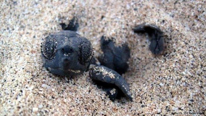 A turtle in the sand Getting this far is half the battle for a species whose eggs are a draw for poachers
