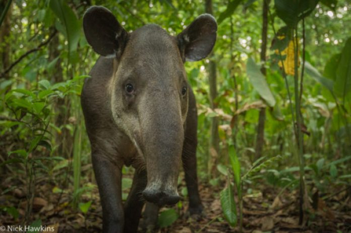 A female Baird's tapir in in Corcovado National Park on the Osa Peninsula of Costa Rica.