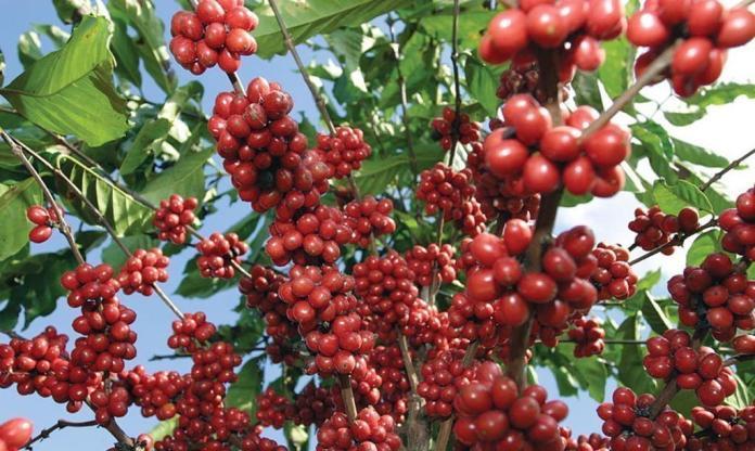 More Nicaraguan Coffee in Japan