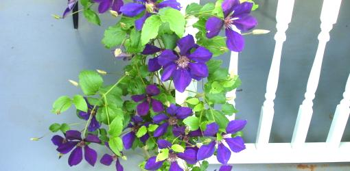 Flowering clematis with purple blossoms.