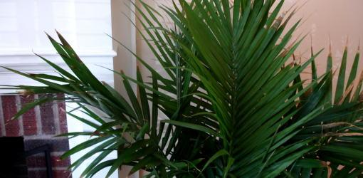 Palm plant growing inside house.