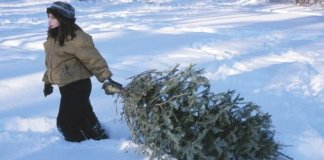 Dragging a cut Christmas tree home in the snow