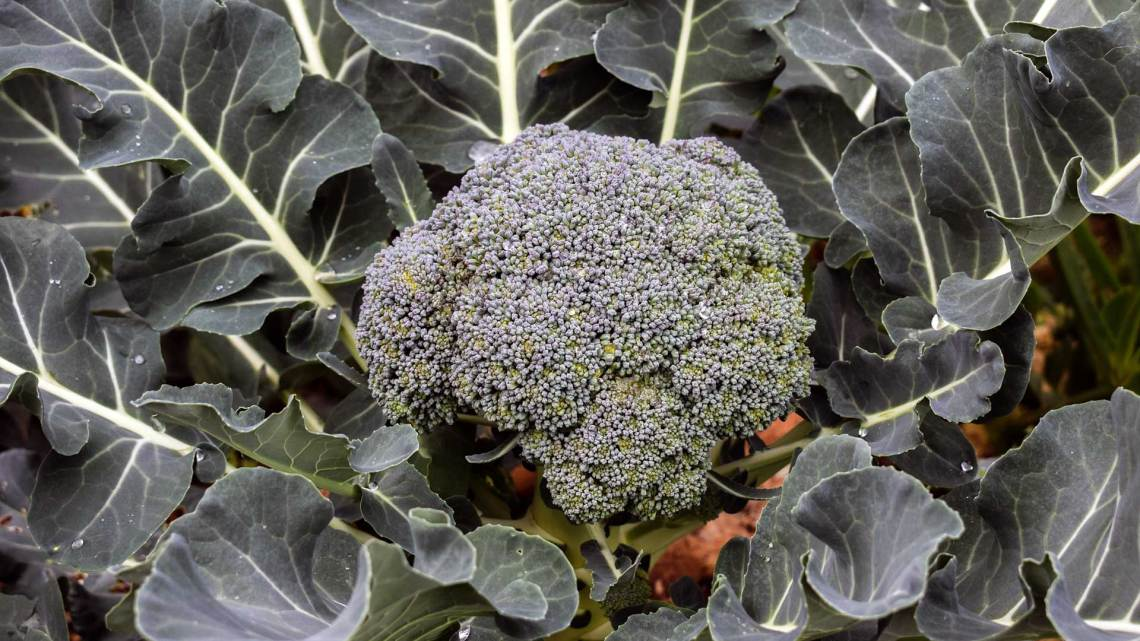 How To Grow Broccoli In Your Vegetable Garden Today S Homeowner