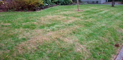 Brown spots on grass from fertilizer burn.
