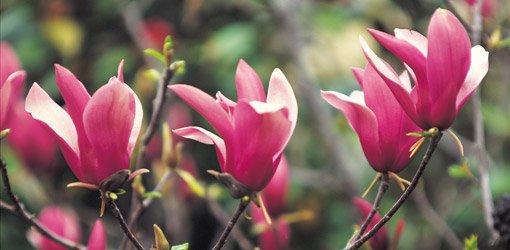 Saucer magnolia bloom