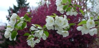 Blooms on a crabapple tree