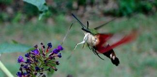 Hummingbird moth at flower