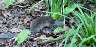 Vole in yard near plants