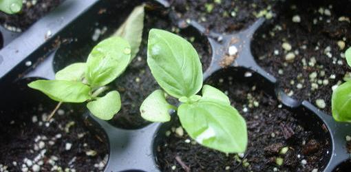 Seedlilngs growing in containers