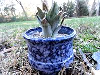 Pineapple crown planted in pot