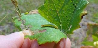 Grape leaffolder caterpillars on grape leaf