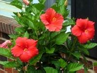 Red hibiscus flower blooms