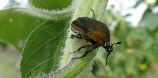 Green June beetle on leaf