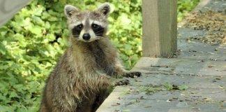 Raccoon climbing onto a porch.