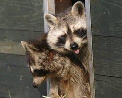 Raccoons taking up residence.
