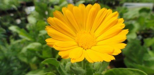 Calendula (Pot Marigold) flower