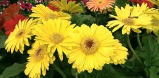 Gerbera daisy flowers.