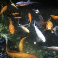 5 ways to protect koi fish during freezing weather today for Koi pond freezing
