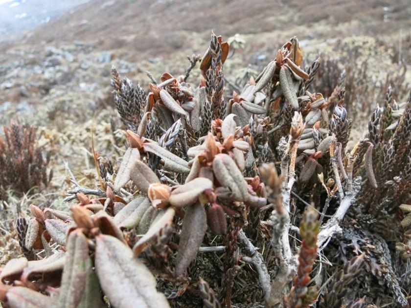 Himalayarose