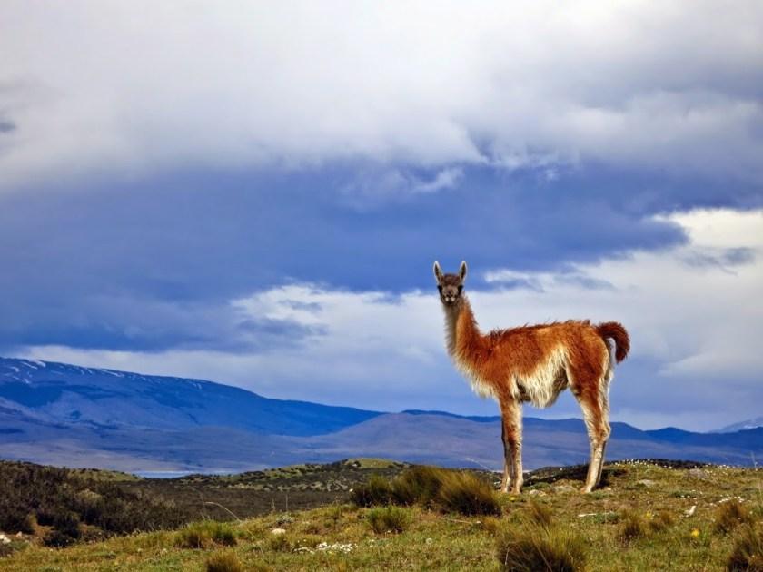 Guanaca Patagonien