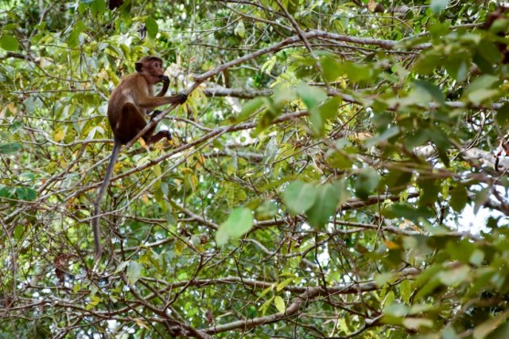 Affen in den Baumwipfeln.