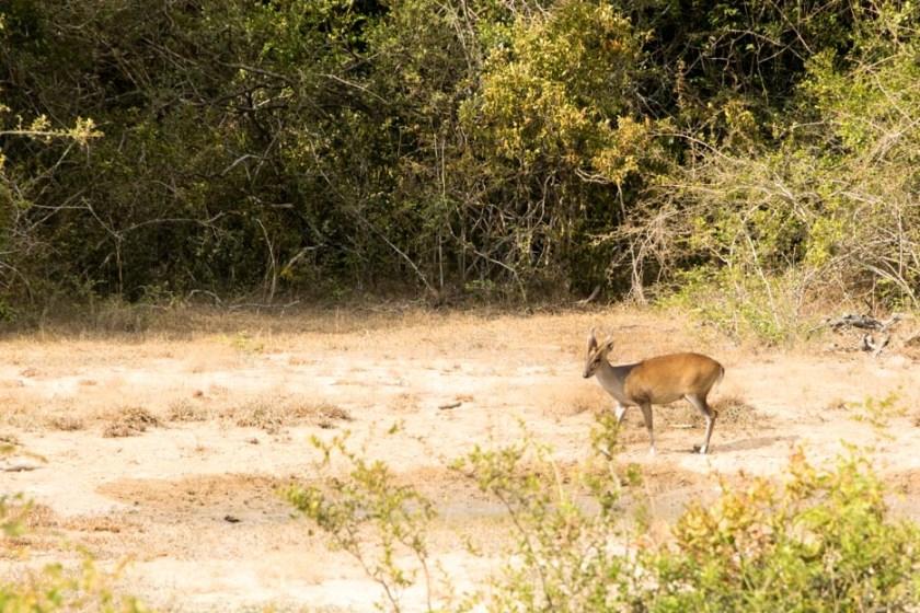 wilpattu_nationalpark_safari-3
