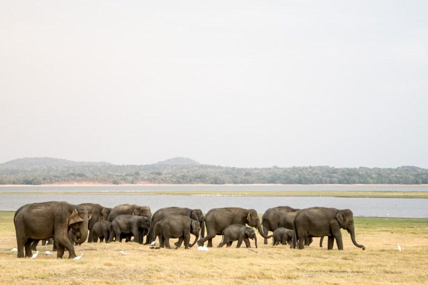 minneriya nationalpark elefantenherde