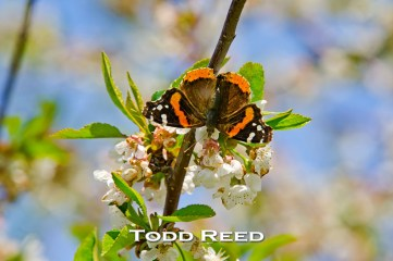 Red admiral butterflies have been invading Northern Michigan this spring. This is one of dozens taking a liking today to an orchard on the Leelanau Peninsula. Butterflies are small and so my challenge is to find one willing to sit still on a blossom long enough for me to get close and in just the right position to make a good shot. F11 at 1/160, ISO 100, 80-200mm lens at 200mm