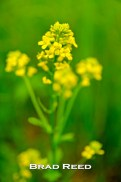 "Wild mustard grass grows all over Michigan and is one of our favorite ""added ingredients"" in our photographs. Today I wanted it to be the ""special of the day,"" so I got in close and isolated one plant that looked particularly beautiful. F2.8 at 1/500, ISO 800, 18-50mm lens at 44mm"