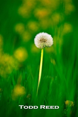 Viewing the world through a telephoto lens with a wide aperture creates an impressionistic view of dandelions and one sharp standout.