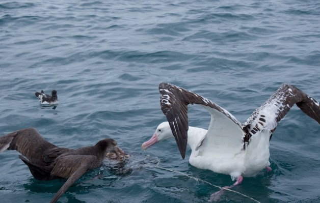 09-2015 Albatross Encounter - 7 of 17
