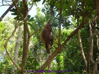 Kota Kinabalu orang-utans