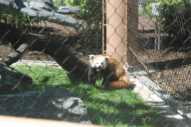Wild Encounters at Brookfield Zoo - Red Panda
