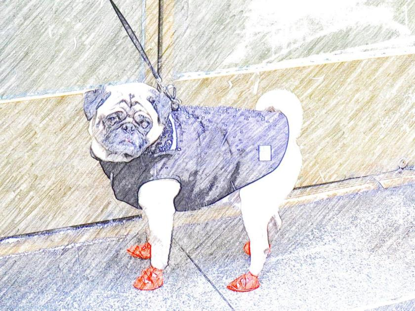 How to dress for Snowstorm Juno if you're a Manhattan Pug - New York Dogs