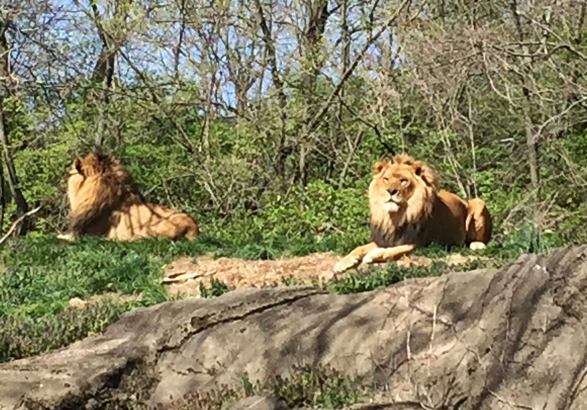 Pittsburgh Zoo Lions