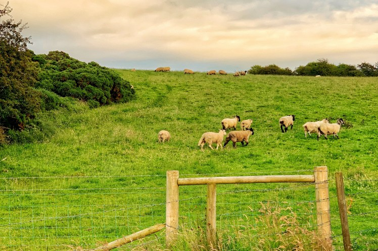 Sheep Driving Itinerary Northern Ireland with Kids Toddling Traveler