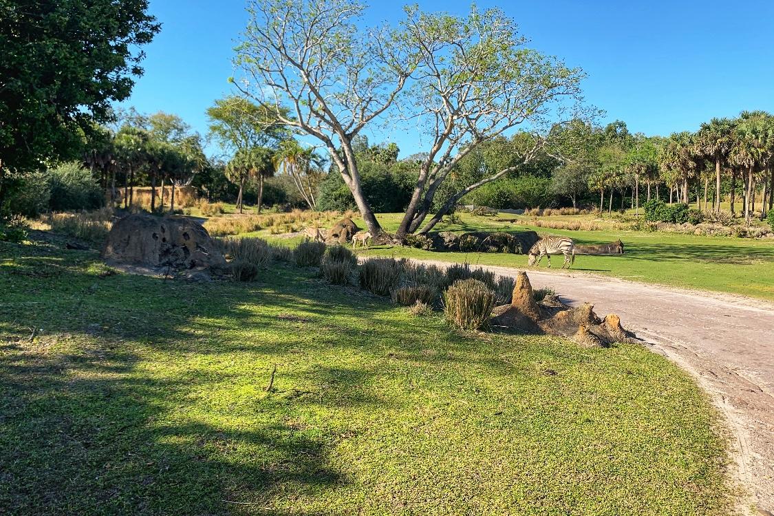 Zebras at Animal Kingdom Safari Best Things to Do at Animal Kingdom Toddling Traveler