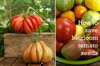 Saving-Tomato-Seeds