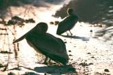 fort-walton-pelican